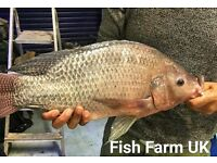 Uk Tilapia frys and fingerlings for sale.