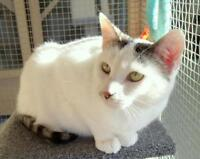 "Adult Male Cat - Domestic Short Hair: ""Snowy"""