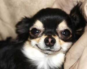 Good home available for a Chihuahua.
