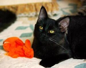 """Young Female Cat - Domestic Short Hair: """"Daisy"""" Downtown-West End Greater Vancouver Area image 2"""
