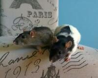 "Adult Female Small & Furry - Rat: ""Ellie & Violet"""