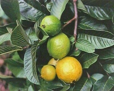HAWAIIAN GUAVA FRUIT SEEDS ~ GROW HAWAII