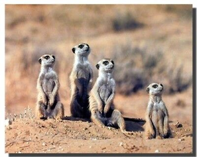 African Meerkat Suricata Wildlife Animal Wall Decor Art Print Poster (16x20), used for sale  Shipping to Nigeria