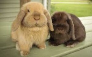 Wanted: Holland Lop - Lapin belier to adopt