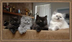 Half Persian Smoke Kittens TWO LEFT