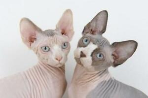 SPHYNX CAT OR KITTEN