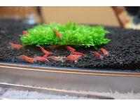 Red Cherry Shrimp Neocaridina davidi Easy Tropical Algae Clean Up Crew