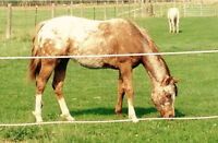 Gorgeous Registered Appaloosa Filly - REDUCED PRICE