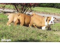 Nice Full englis Bulldog girlis Puppy