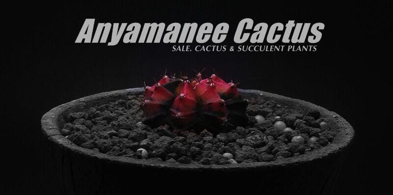 Anyamanee Cactus