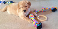 Male Golden Retriever x Puppy