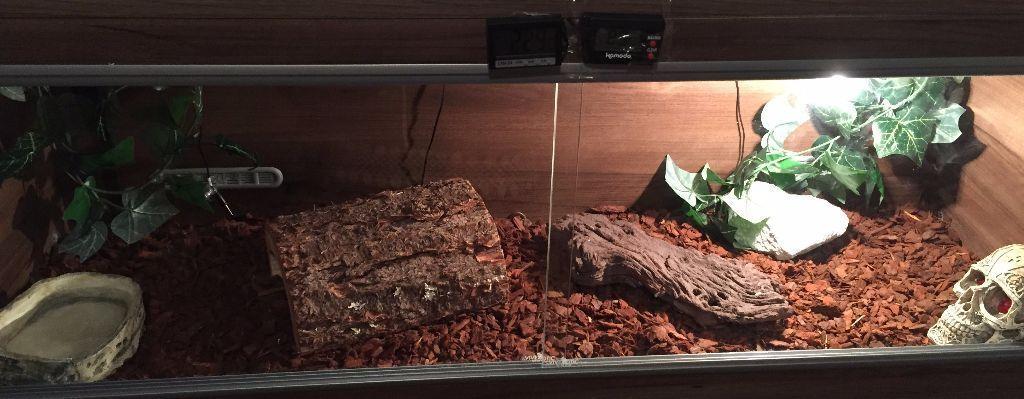 4 Ft Royal Python Snake And Full Vivarium Set Up For Sale