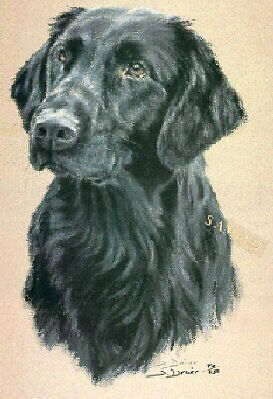 Flat Coated Retriever Limited Edition Art Print by UK Artist Sue Driver*