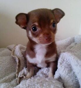 Wanting a chocolate female chihuahua short coat Riverstone Blacktown Area Preview