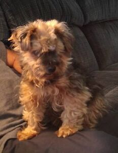 MISSING YORKIE FROM MEADOWBROOK HEIGHTS SUB.