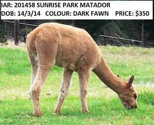 ALPACA WETHERS SUITABLE AS GUARDS Macclesfield Mount Barker Area Preview