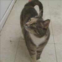 "Adult Female Cat - Domestic Short Hair: ""Jesse"""