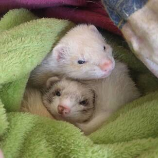 Unwanted Fuzz Ferret Rescue