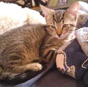 Two male taby kittens ready for adoption!