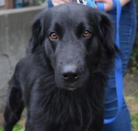 """Young Male Dog - Flat-coated Retriever: """"Homer"""""""