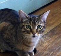 "Young Female Cat - Domestic Short Hair-Tabby - Brown: ""Peaches"""