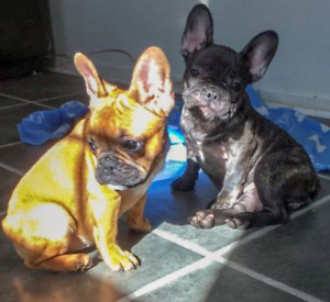 Pure Breed French Bulldog Litter ! Only 2 left!
