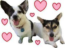 Fennel and Spice BONDED PAIR Chihuahua x Foxy Ingleside Warringah Area Preview