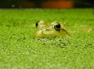 Could I get duckweed from anyone in Ancaster/Hamilton?