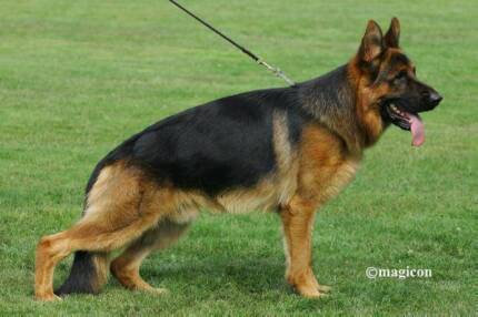 Quality German Shepherd Puppies Bargo Wollondilly Area Preview