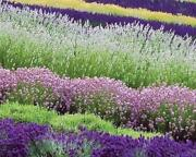 Mix Perennial Flower Seeds