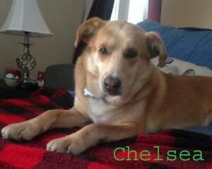 Adult Female  - Shepherd-Labrador Retriever