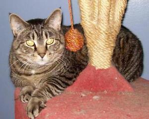 """Adult Female Cat - Tabby - black: """"Teela"""""""