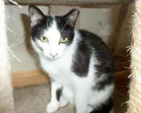 """Baby Male Cat - Domestic Short Hair-black and white: """"Roo"""""""
