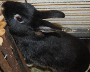 """Young Male Rabbit - Bunny Rabbit: """"Ace"""""""