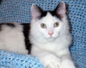 """Baby Male Cat - Norwegian Forest Cat: """"Jacob"""""""