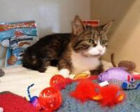 "Young Female Cat - Tabby - white-Tabby - Brown: ""Henrietta"" Ottawa Ottawa / Gatineau Area Preview"