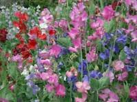 Sweet Pea Plants