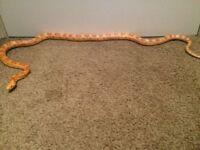 2 corn snake and full setup