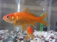 Goldfish. Pond fish