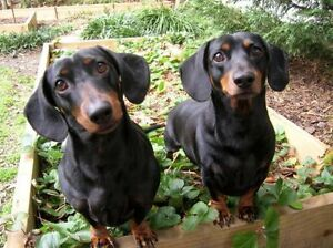 ISO. Looking for a dachshund