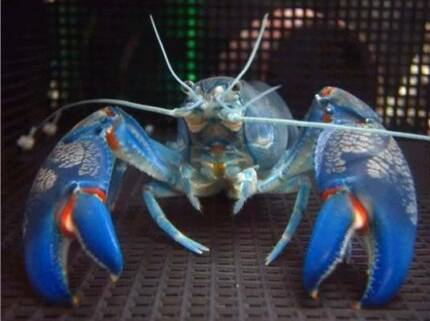 Yabbies for sale Great for pets or your aquaponics system