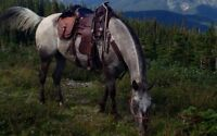 13 year old well well broke gelding for sale .