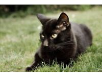 Black male cat free to good and forever home