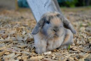 Pure Mini Lop Rabbits - Taking Holds Now - Cottontails Pakenham Cardinia Area Preview