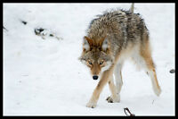 Coyote or Wolf problem?