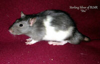 Silvered Black Adult Male Rat - Free with purchase of a baby!
