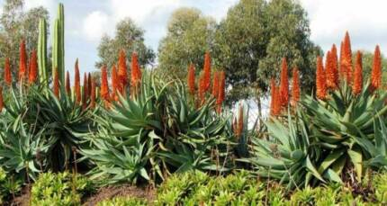 aloe arborescens plants gumtree australia free local classifieds. Black Bedroom Furniture Sets. Home Design Ideas
