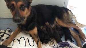 German shepherd x doberman puppies Aldinga Beach Morphett Vale Area Preview