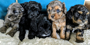 Cavapoo Puppies | Kijiji - Buy, Sell & Save with Canada's #1 Local