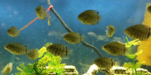 Green Severums for rehoming